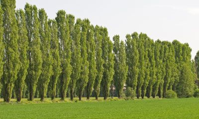 Lombardy Poplar Tree. Makes a Living Wall in Just One Year!