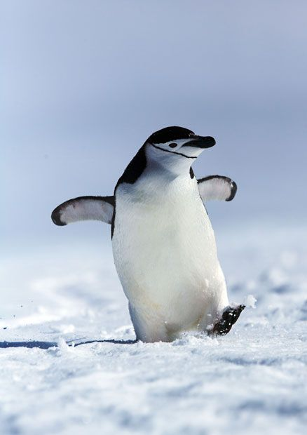 A penguin seems to give a cheeky grin as he strides through the snow with a spring in his step.