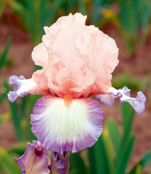 Poesie Iris - The hybridizer used Celebration Song as a parent in the development of this colorful origination. Our photo shows the exquisite light rose color of Poesie's standards. Its white falls...