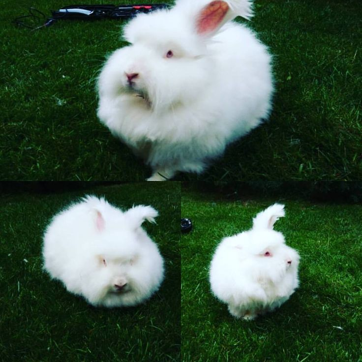 Angora rabbit / angorsky zajac
