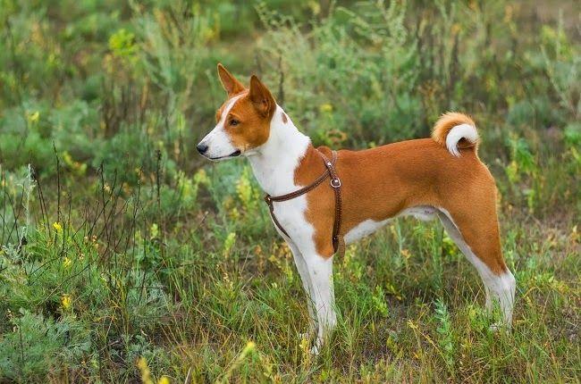 Psy rasy Basenji