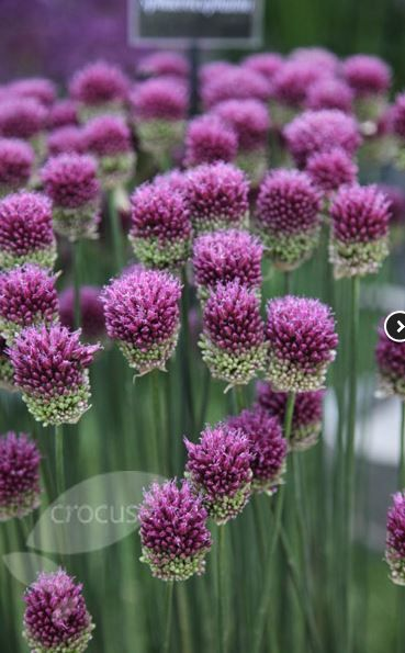 the 57 best images about alliums on pinterest gardens sun and ferns. Black Bedroom Furniture Sets. Home Design Ideas