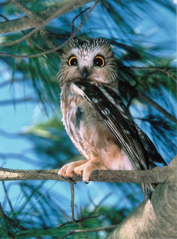 ^Northern Saw-whet Owl (Aegolius acadicus).