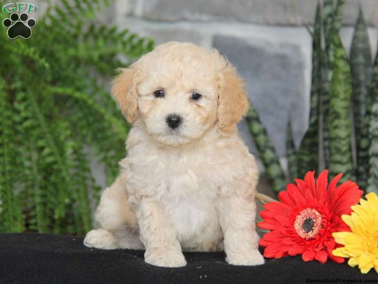 Miniature Poodle Puppies For Sale In Pa  Poodle Puppies -5088
