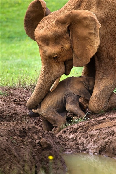 Mother's determination: Elephant kneels + drags baby with trunk if you think