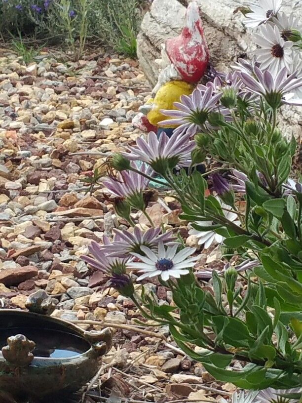 African daisies, bird bath and gnome
