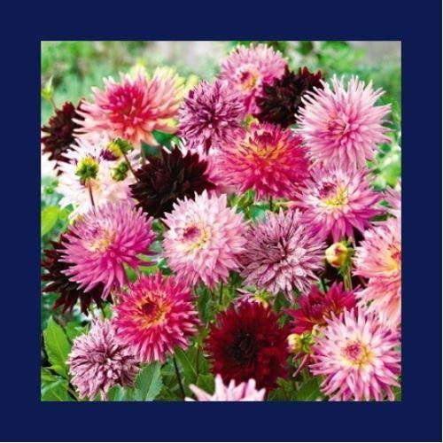 Zenfidan +-85 Adet Yıldız Kaliforniya Çiçeği Tohumu Paketli
