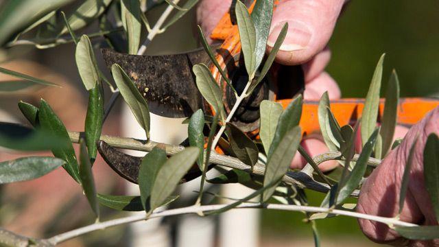 Wenn Sie Ihren Olivenbaum schneiden wollen, sollten Sie den richtigen Zeitpunkt wählen. Wie Sie richtig schneiden und Tipps zur Pflege des Baums, gibt es hier.