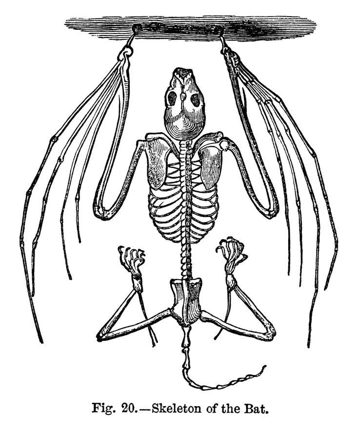 Bat Skeleton ~ Free Vintage Clip Art