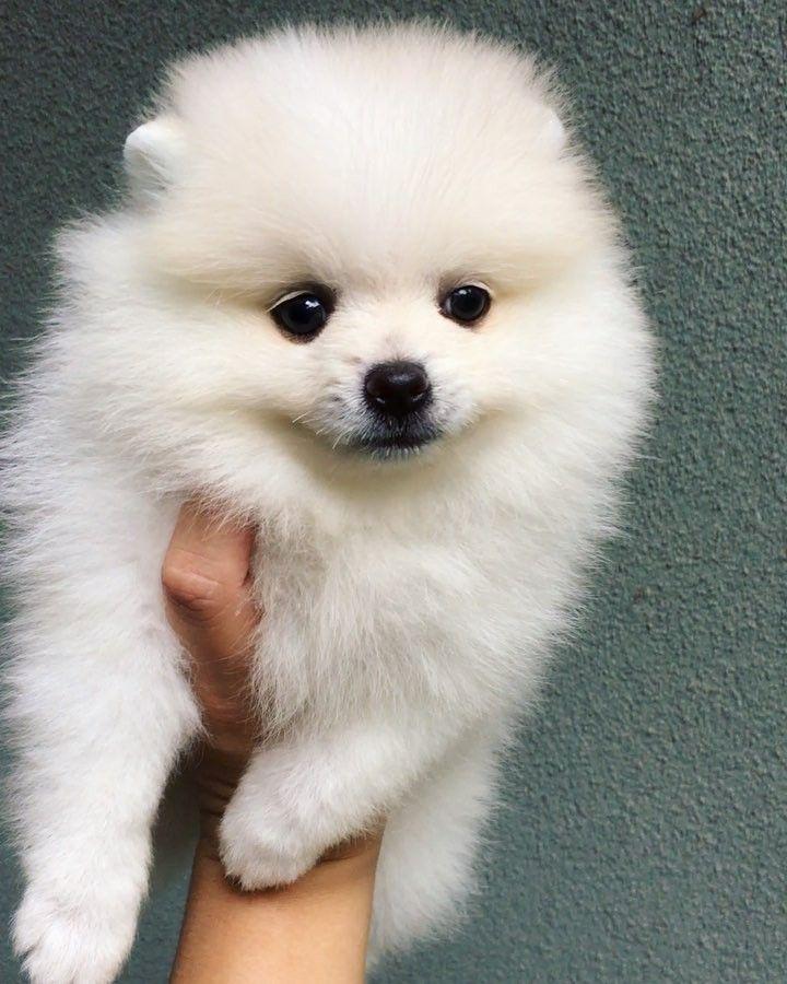 11+ Harga anjing mini pomeranian terbaru