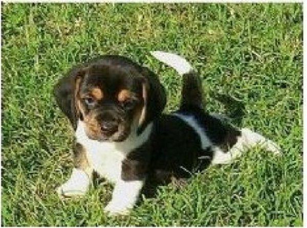 miniature pocket beagle puppies | Zoe Fans Blog