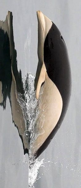 Southern Right Whale Dolphin, one of two rare species of cetacea that do not have dorsal fins.