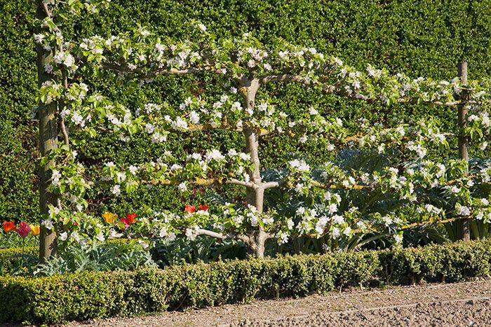 espalier fruit tree - Google Search