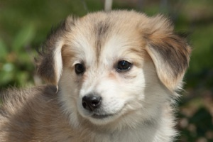Rummikub is an adoptable Corgi - Terrier Mix Dog in Mishawaka, IN. She likes spooning and wagging her tail so hard her whole body wags along with it.