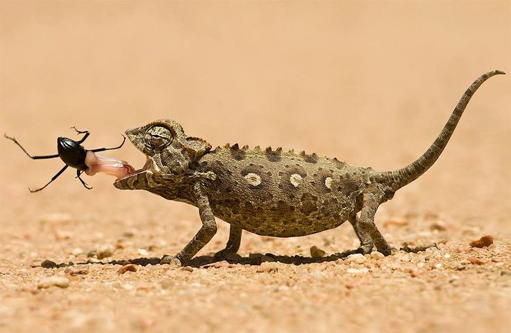 Chameleon - Marsl van Oosten