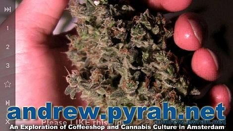 Royal Queen Seeds SWEET SKUNK AUTOMATIC Harvest & Trimming – Amsterdam Weed Review 2014