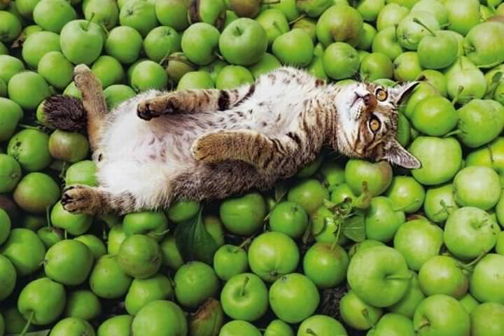 岩合光昭写真展 「津軽のねこ」がノエビア銀座ギャラリーで開催される。リンゴとともに生きている津軽のネコを収めた写真が展示される予定。