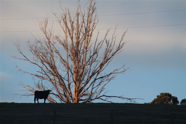 The Lone Cow, Western Australia...Taken by Daphne Greenhow