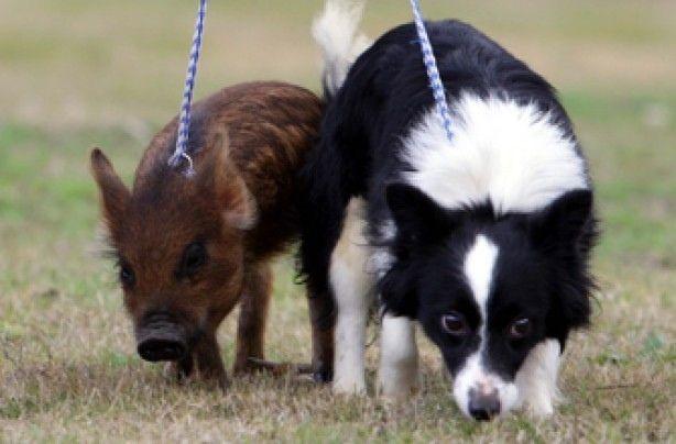 #Datoanimal Los mini pigs o #cerdos miniatura, no son más grandes que un #perro de talla mediana #VetsMexico