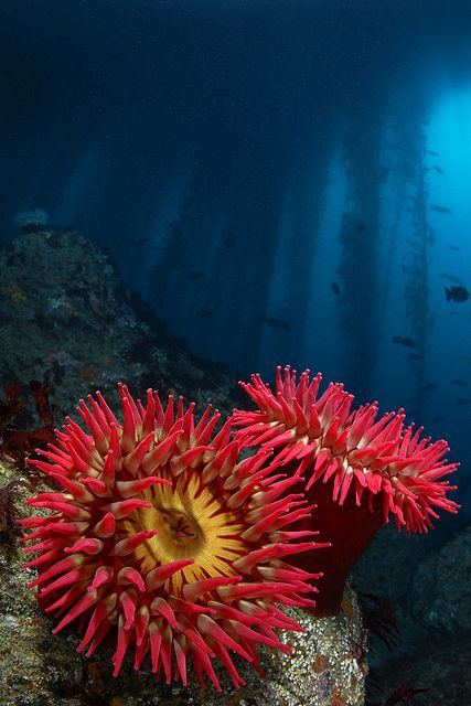 Red Rose Anemones, Carmel, California These are sea anenomies in Carmel Bay, California. Photograph by: Vance Taitano..