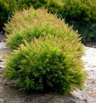 Acacia fimbriata dwarf