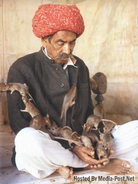 The Shri Karni Mata Temple in Deshnoke, India is unlike any other Hindu temple in the world.  In this temple, rats reign supreme.
