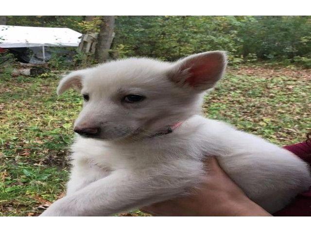 Akc German Shepherd Puppies - Animals - Stillwater - Minnesota - announcement-79224