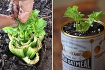 Baby lettuce!: Replant Celery, Celery Based, Bunch Indoor, Gardens Idea, Outdoor, Plants, Re Growing Celery, Regrow Celery,  Flowerpot