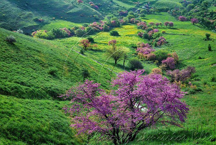 Dimitil posted a photo:  Η κουτσουπιά ή κερκίδα (Cercis siliquastrum, Leguminosae), γνωστή και ως δέντρο του Ιούδα ή μαμουκαλιά ή κότσικας, είναι φυλλοβόλο δέντρο της Μεσογείου και αυτοφυές της ελληνικής χλωρίδας.  Σύμφωνα με τη θρησκευτική παράδοση,η κουτσουπιά ήταν το δέντρο από το οποίο κρεμάστηκε ο Ιούδας μετά την προδοσία.  Αυτού του γεγονότος καθώς και της πλύσης των ποδών των μαθητών Του από τον Ιησού Χριστό γίνεται μνεία στην ακολουθία της Μεγάλης Τετάρτης.
