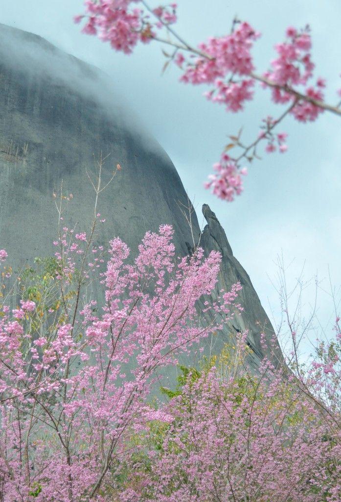 Flores de cerejeira no Parque Estadual de Pedra Azul/ES.