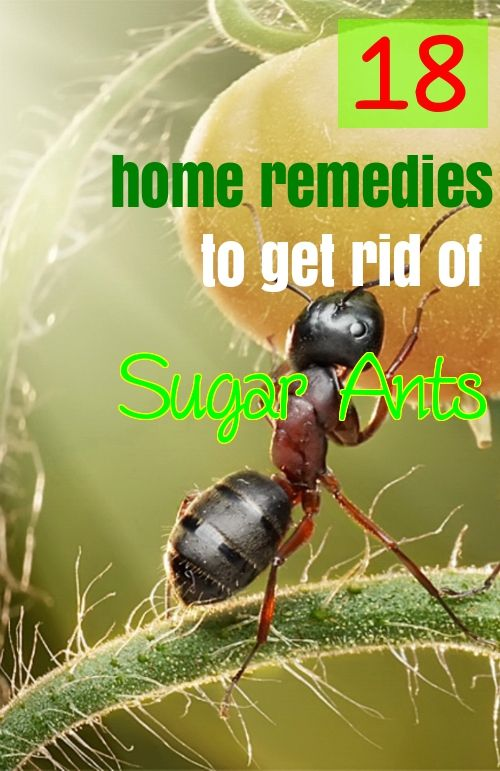 Try natural home remedies to get rid of sugar ants if you don't want to use chemicals