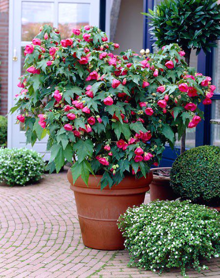 "The ""Lucky Lantern"" series are compact, bushy dwarfs which are excellent for summer containers. They are all compatible in habit with large ..."