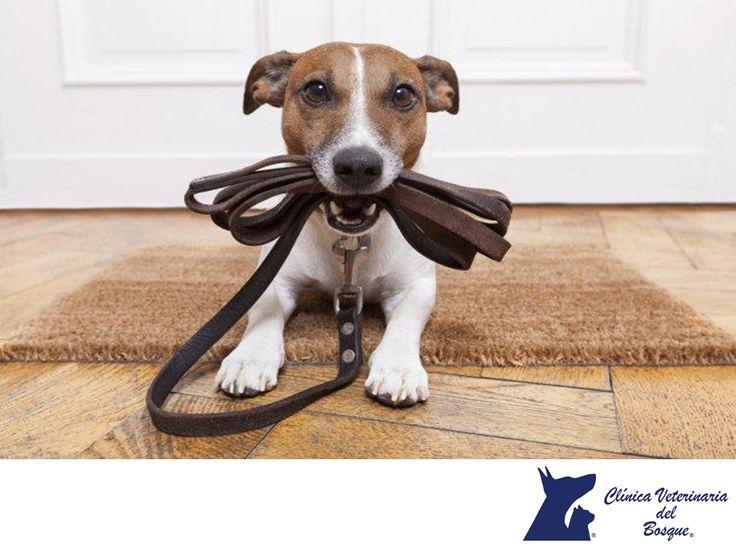 LA MEJOR CLÍNICA VETERINARIA DE MÉXICO.  A los perros les encantan salir a pasear con su dueño, las emociones que se generan cuando tomamos la correa en señal de paseo es única para ellos. Aprovecha estos momentos para hacer que tu perro socialice con la gente y otras mascotas y que conozca su entorno. En Clínica Veterinaria del Bosque, te recomendamos sacar a pasear a tu mascota tres veces al día.  #cuidadodemascotas