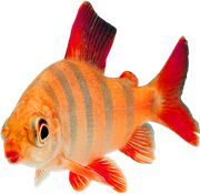 Fish PNG Images On this site you can download free Fish PNG image with transparent background.