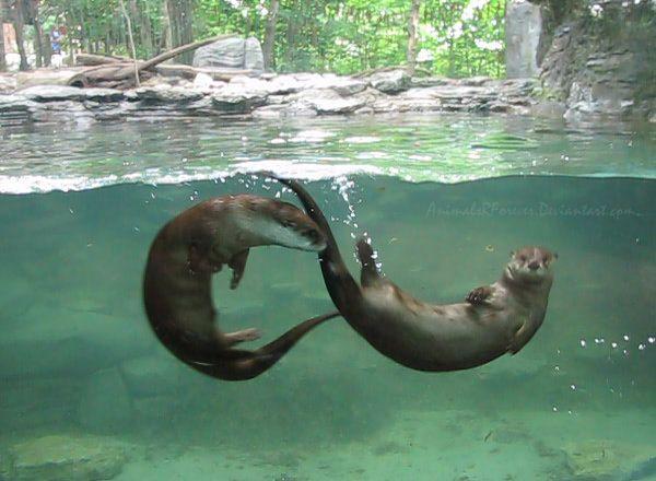 Best 25+ River otter i...