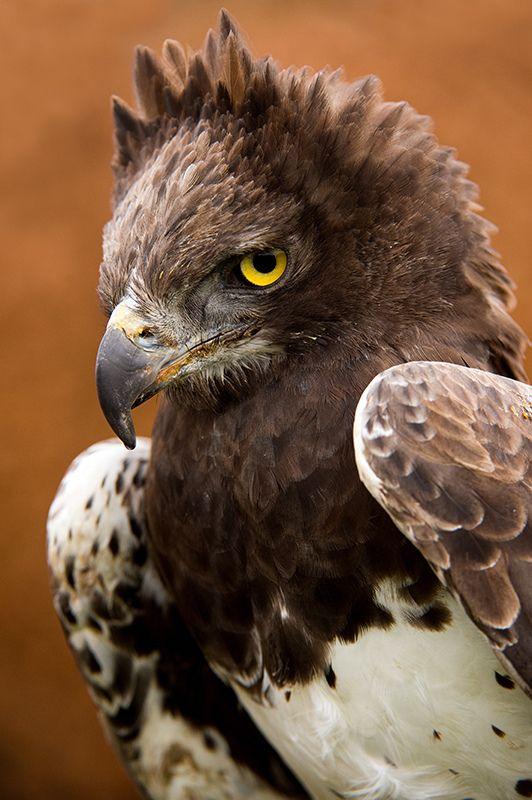 Buse couronnée // Crowned Eagle