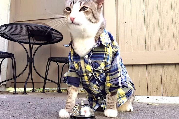Cat Rings Bell To Get Tasty Treats