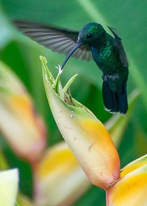 Puerto Rican Hummingbird