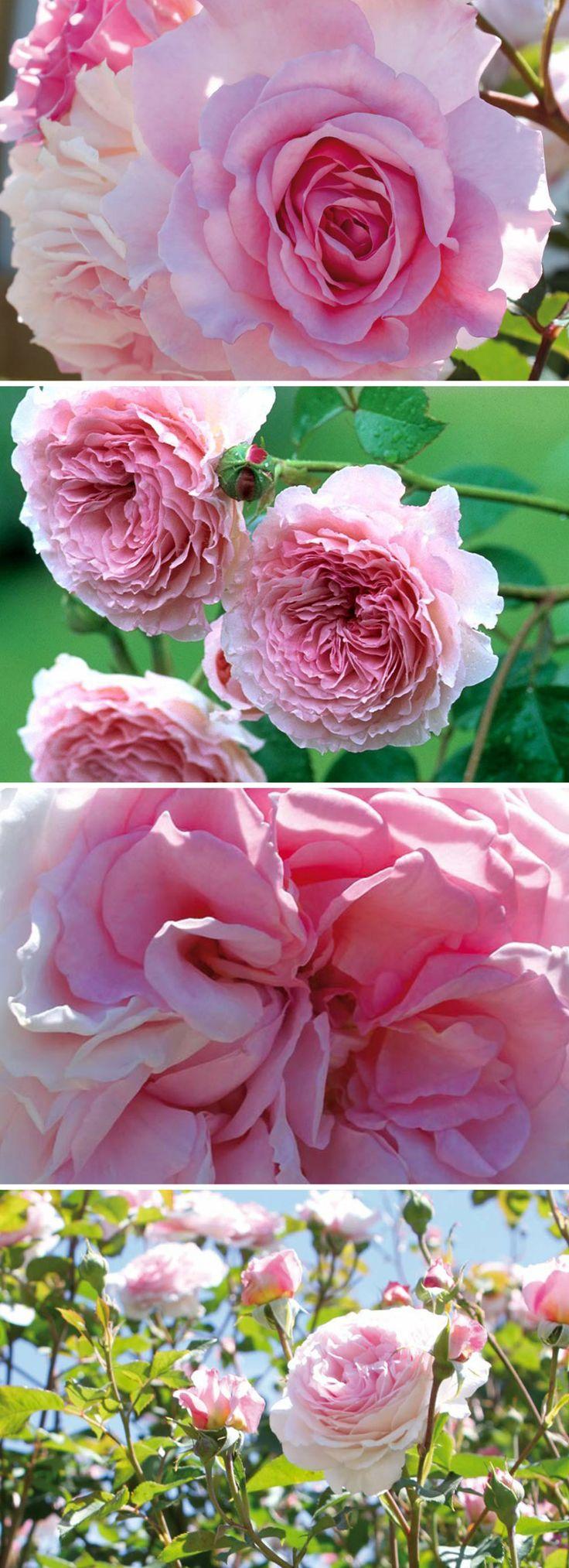 Ein Traum in rosa, wunderschön gefüllt im Stile einer Englischen Rose - gefunden auf www.tom-garten.de
