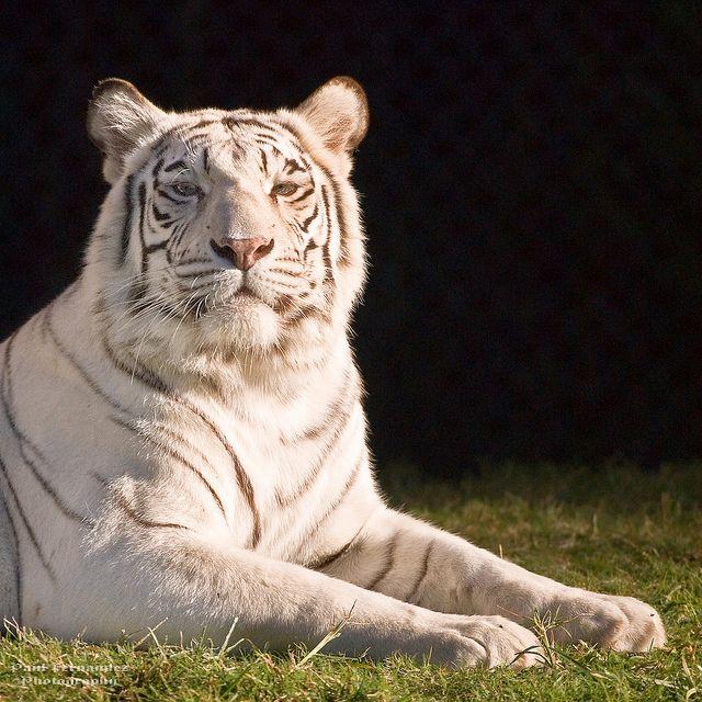 Bengal Tigress Posing For The Camera At The Memphis Zoo Tennessee Memphis Zoo White Bengal Tiger Sumatran Tiger