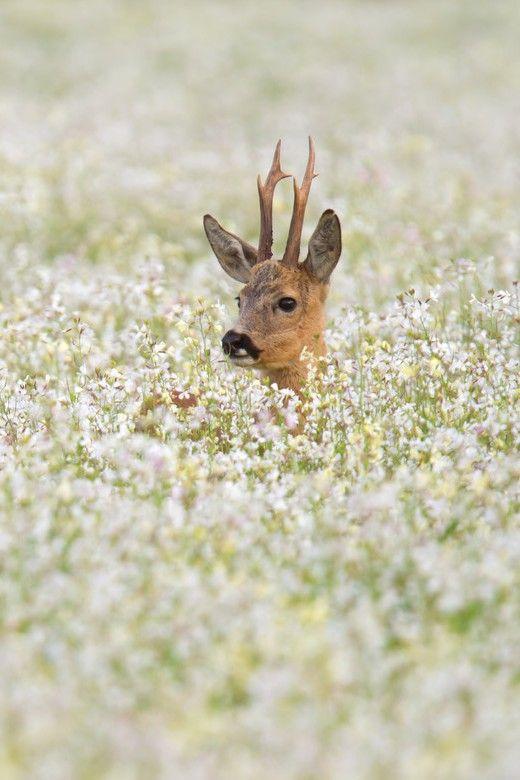 0rient-express: Roe deer in flower field | by Andy Luberti | Website.