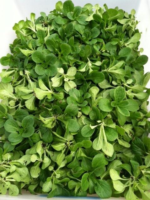 Mache salad - sweet, tender greens I put in salad