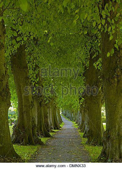 Linden trees, alley in Sieseby at the Schlei, Rendsburg-Eckernförde District, Schleswig