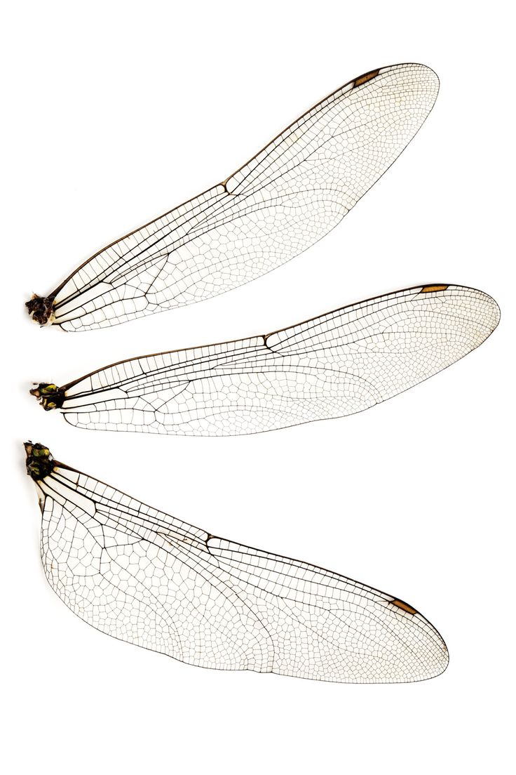 dragonfly wing | Dragonfly Wings Isolated