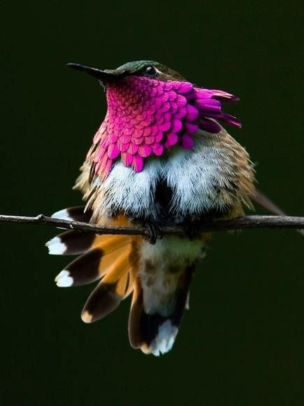 This is a Wine-Throated Hummingbird. - Imgur