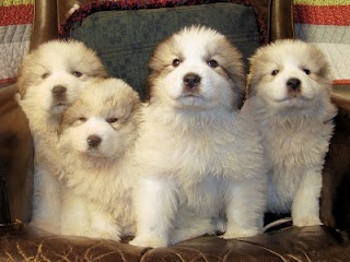 Great Pyrenees Puppies. they are soooo cute!