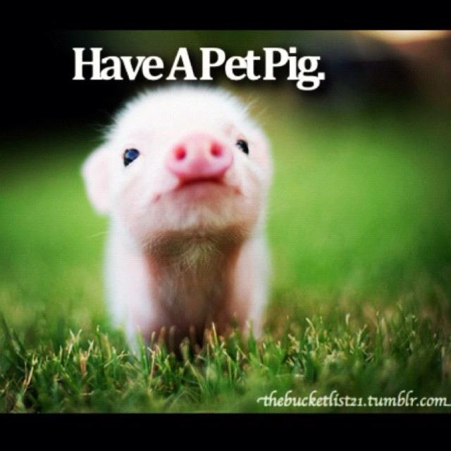 teacup pig! SO cute! | piggies | Pinterest | Teacup pigs ...