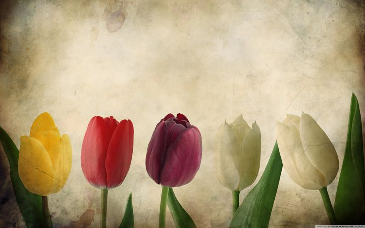 tulips flowers vintage wallpaper hd