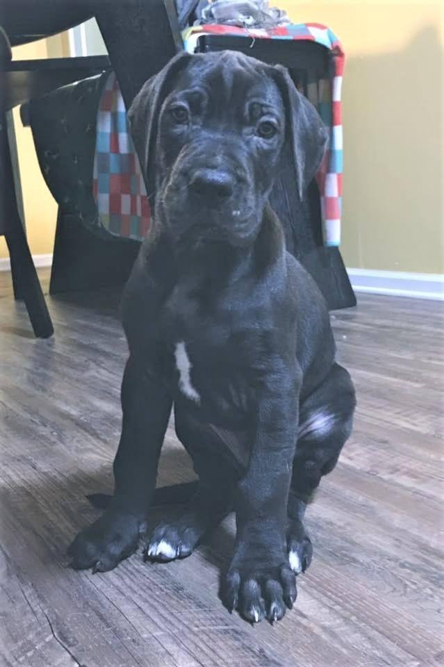 Great Dane dog for Adoption in Huntersville, NC. ADN-532568 on PuppyFinder.com Gender: Male. Age: Young