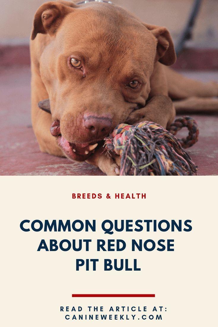 Red Nose Pitbull Red Nose Pitbull Natural Dog Care Big Dog Breeds